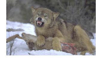 Wolf kill no caption r&c (1)