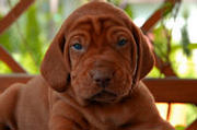 Brown-puppy